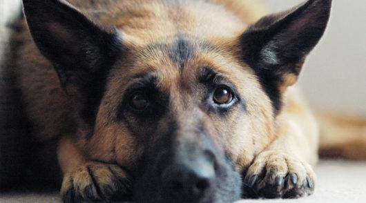 Magendrehung des Hundes
