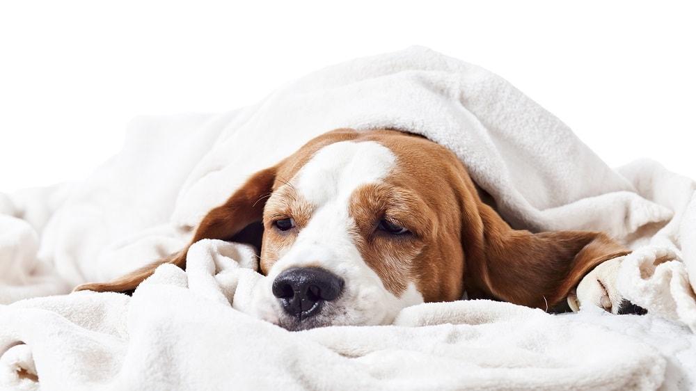 Gebärmutterentzündung des Hundes
