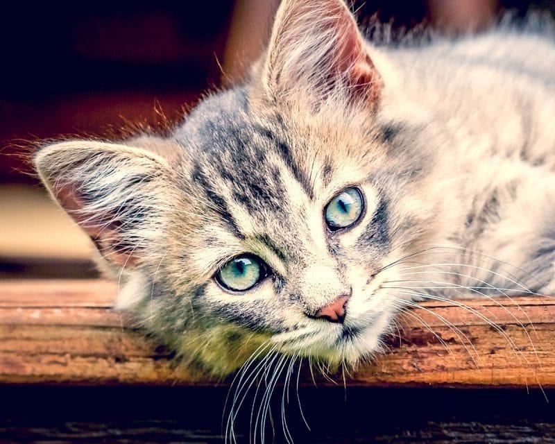 Kastration bei der Katze