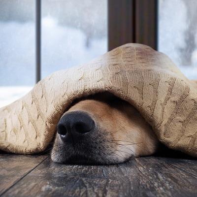 Schildrüsenunterfunktion (Hypothyreose) beim Hund
